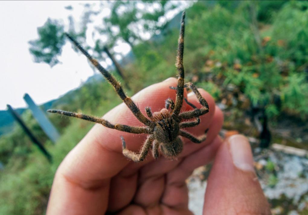 Cận cảnh loài nhện độc nhất thế giới có thể hạ gục người chỉ trong một vết cắn - Ảnh 6.