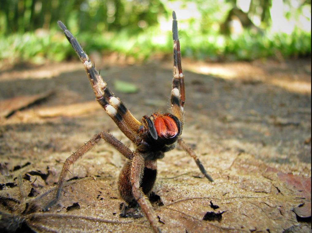 Cận cảnh loài nhện độc nhất thế giới có thể hạ gục người chỉ trong một vết cắn - Ảnh 7.