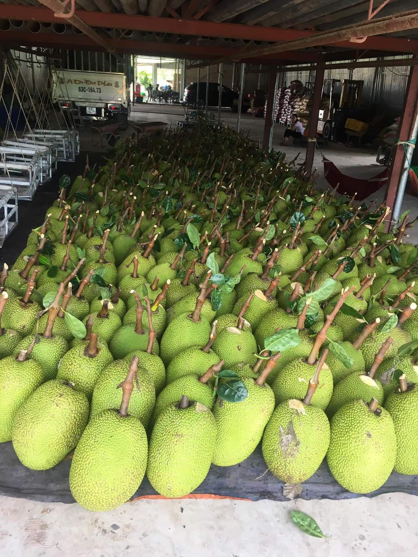 Giá mít Thái hôm nay 19/4: Giá giảm, người trồng mít Thái không buồn, còn chỉ cho nhau cách làm hay - Ảnh 1.