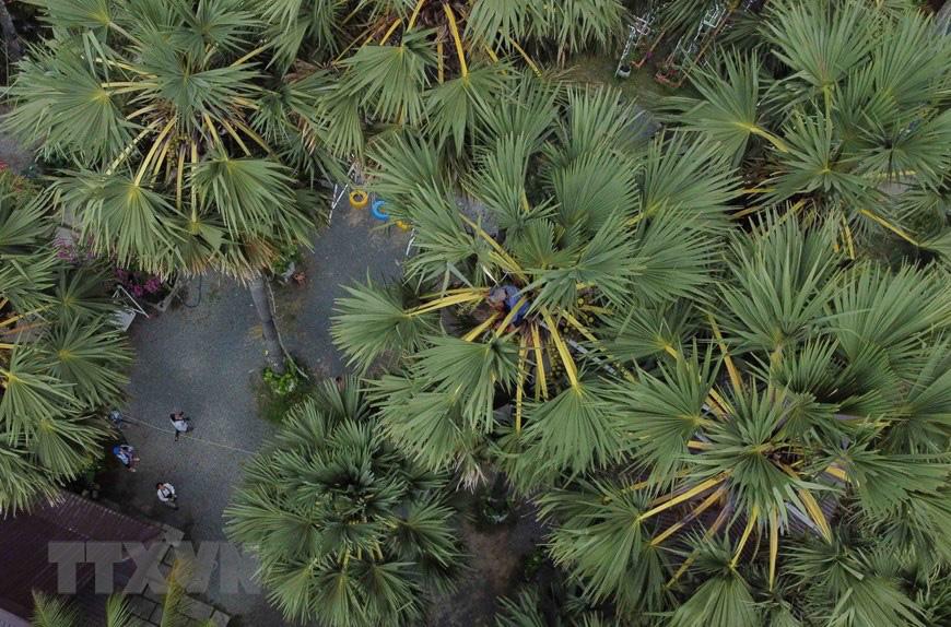An Giang: Giống dừa nhưng không phải là dừa, cây thân thẳng cao đến 30m, uống vào mát ngọt lịm tỉnh cả người - Ảnh 2.