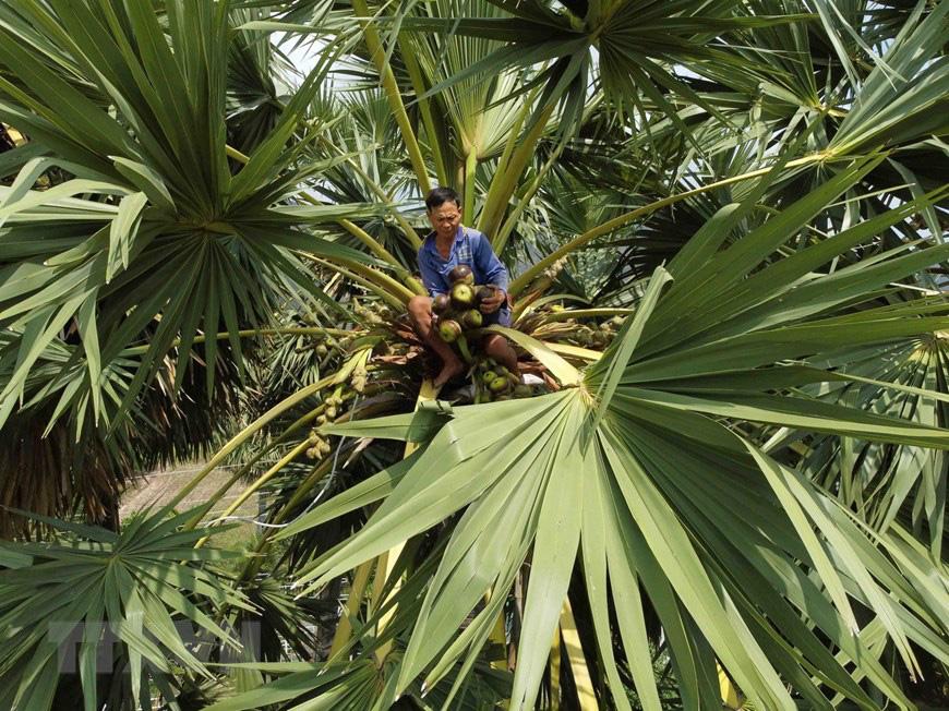 An Giang: Giống dừa nhưng không phải là dừa, cây thân thẳng cao đến 30m, uống vào mát ngọt lịm tỉnh cả người - Ảnh 1.
