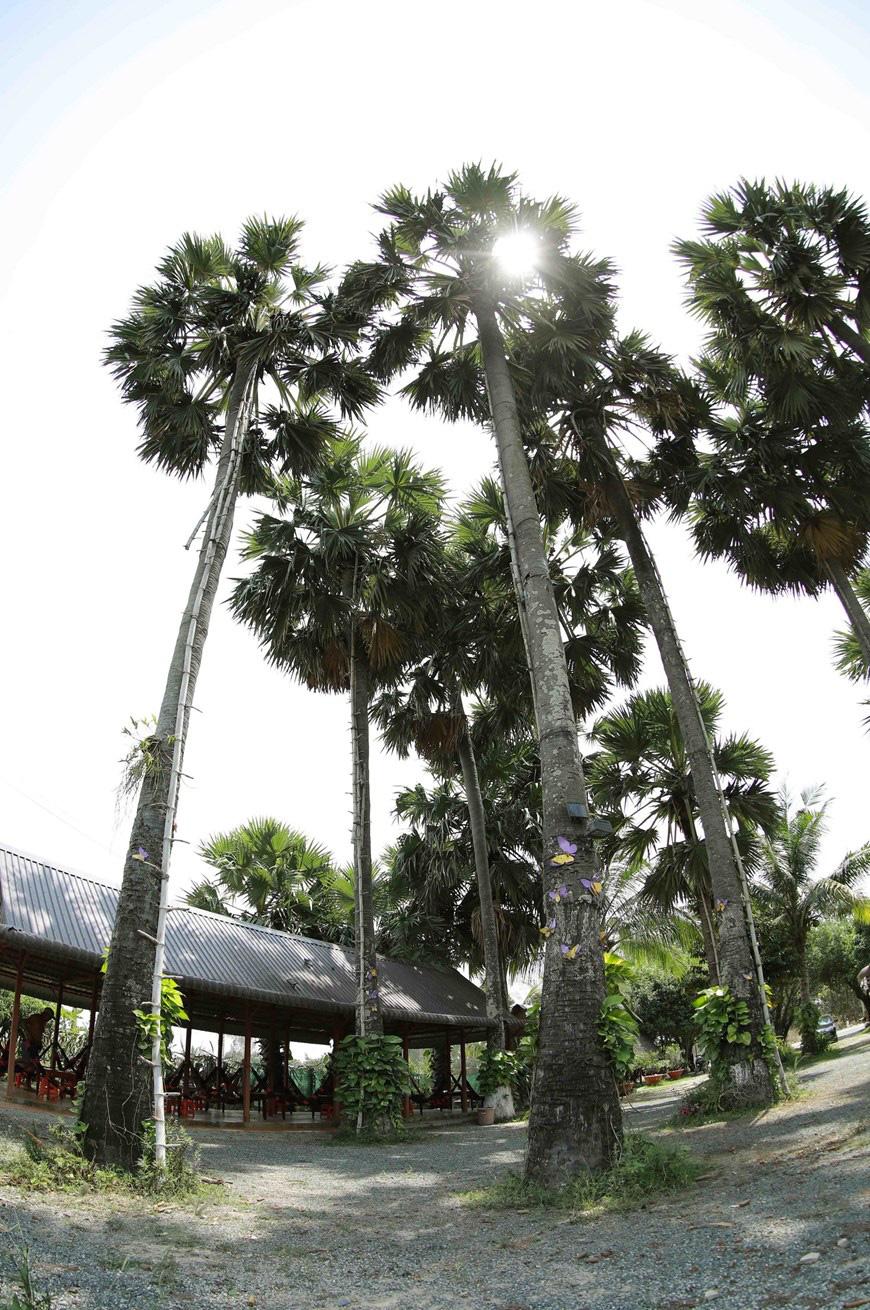 An Giang: Giống dừa nhưng không phải là dừa, cây thân thẳng cao đến 30m, uống vào mát ngọt lịm tỉnh cả người - Ảnh 14.
