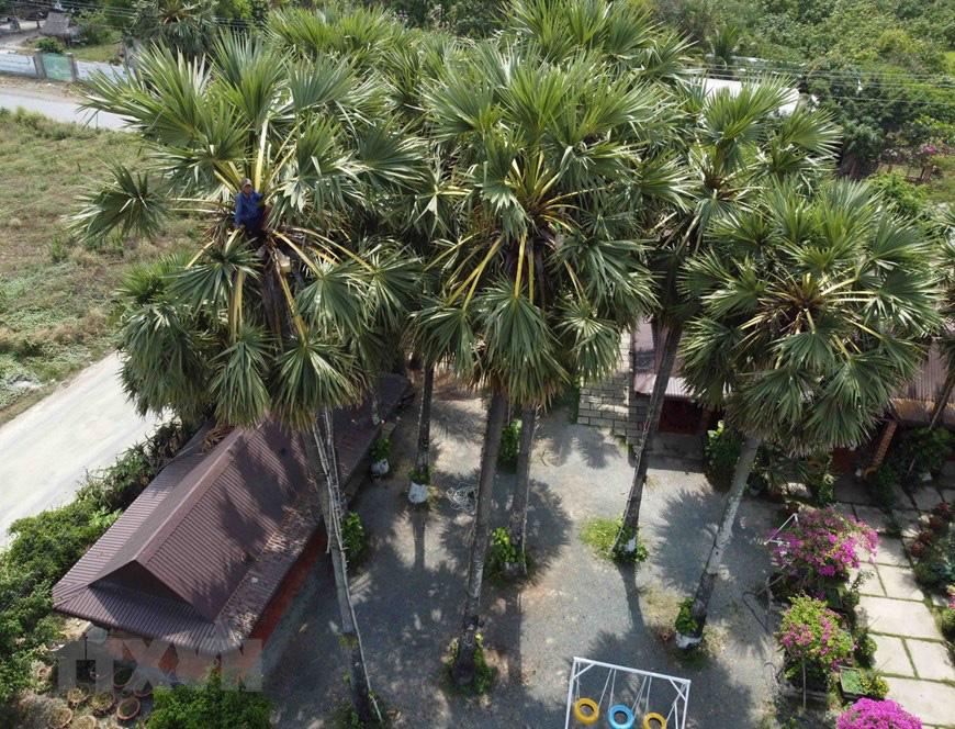 An Giang: Giống dừa nhưng không phải là dừa, cây thân thẳng cao đến 30m, uống vào mát ngọt lịm tỉnh cả người - Ảnh 15.