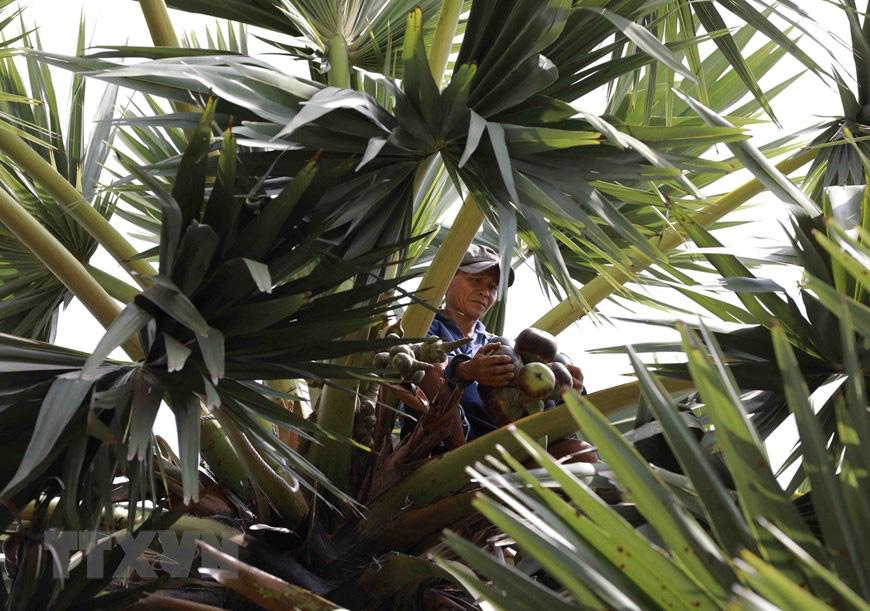 An Giang: Giống dừa nhưng không phải là dừa, cây thân thẳng cao đến 30m, uống vào mát ngọt lịm tỉnh cả người - Ảnh 16.