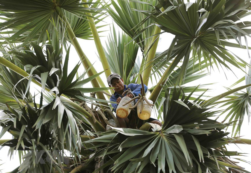 An Giang: Giống dừa nhưng không phải là dừa, cây thân thẳng cao đến 30m, uống vào mát ngọt lịm tỉnh cả người - Ảnh 3.