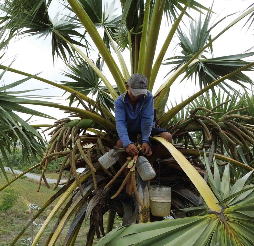 An Giang: Giống dừa nhưng không phải là dừa, cây thân thẳng cao đến 30m, uống vào mát ngọt lịm tỉnh cả người - Ảnh 4.
