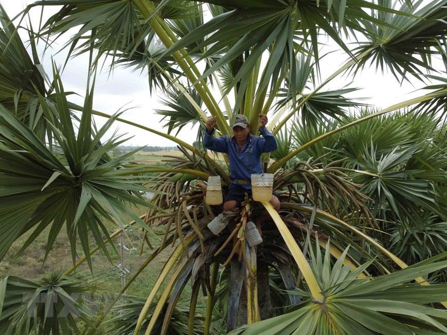 An Giang: Giống dừa nhưng không phải là dừa, cây thân thẳng cao đến 30m, uống vào mát ngọt lịm tỉnh cả người - Ảnh 5.