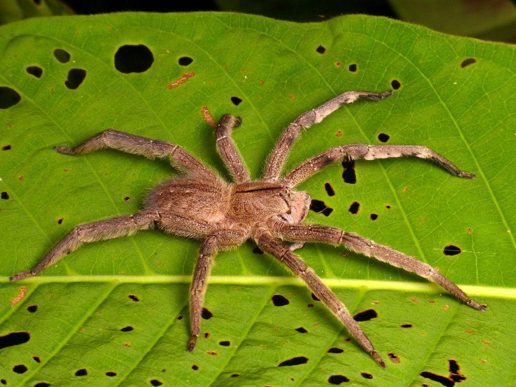 Cận cảnh loài nhện độc nhất thế giới có thể hạ gục người chỉ trong một vết cắn - Ảnh 8.