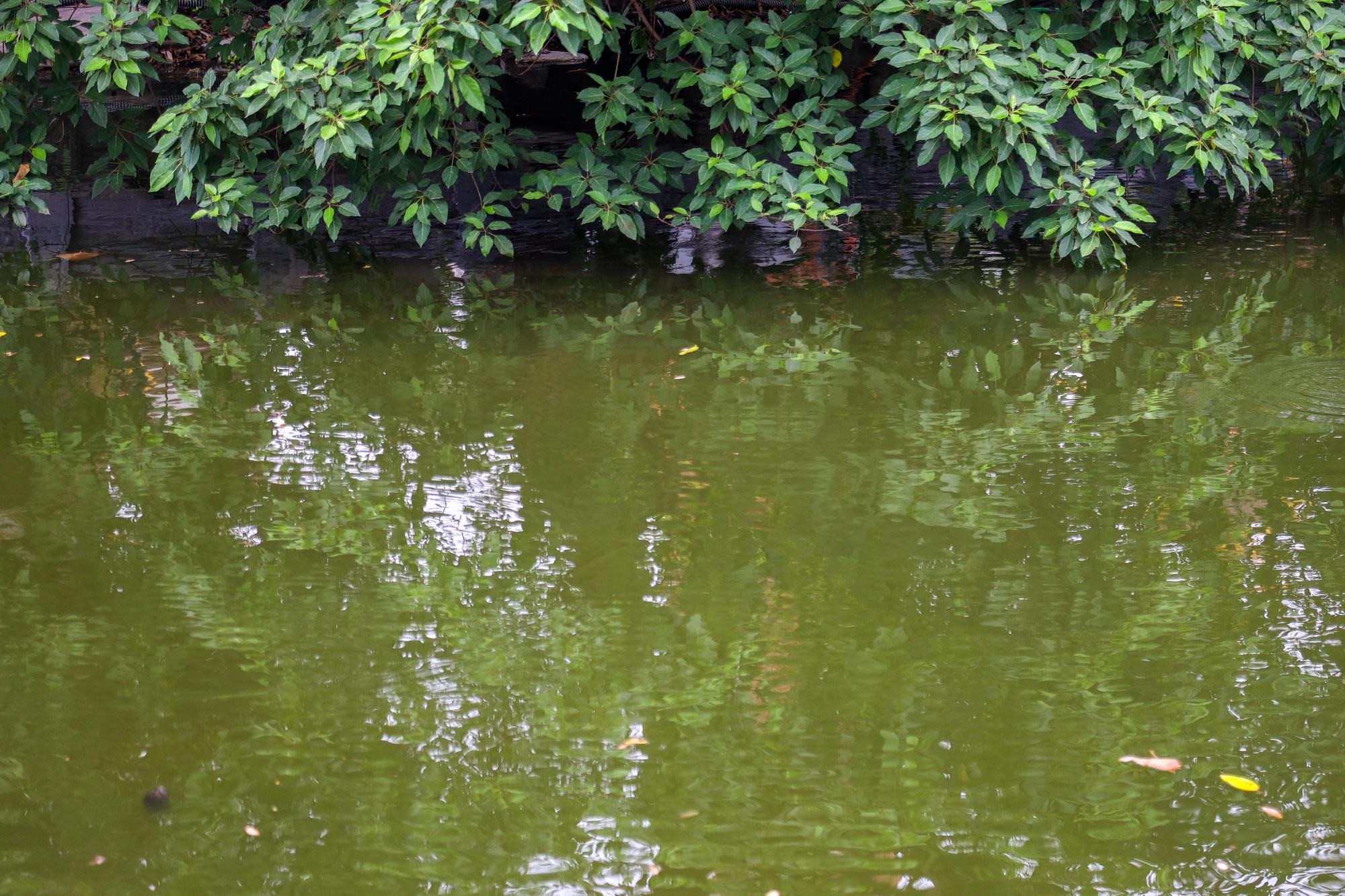 Nước hồ Tây có dấu hiệu ô nhiễm, bất ngờ chuyển màu xanh rêu đậm - Ảnh 3.