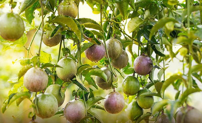 3 loại quả ở Việt Nam mọc dại đầy đường, sang nước ngoài thành của ngon vật lạ - Ảnh 4.
