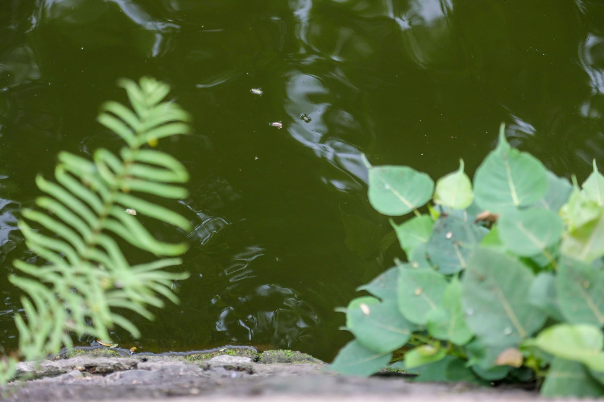 Nước hồ Tây có dấu hiệu ô nhiễm, bất ngờ chuyển màu xanh rêu đậm - Ảnh 6.