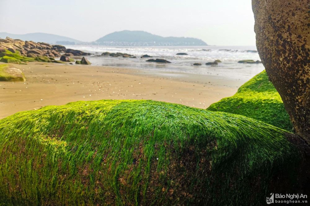Loại cây mọc trên đá xanh le xanh lét trông rất bắt mắt ở biển Quỳnh, Nghệ An - Ảnh 12.