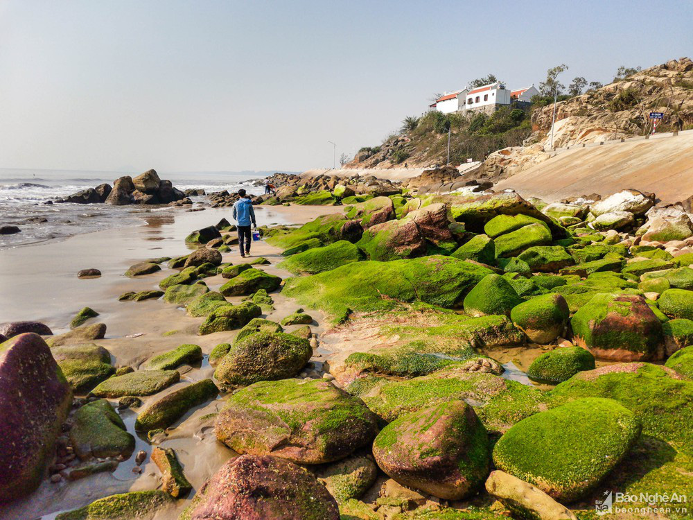 Loại cây mọc trên đá xanh le xanh lét trông rất bắt mắt ở biển Quỳnh, Nghệ An - Ảnh 1.