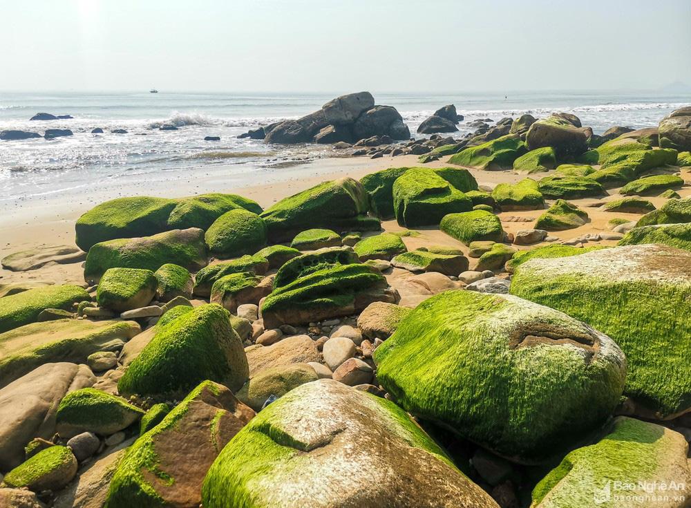 Loại cây mọc trên đá xanh le xanh lét trông rất bắt mắt ở biển Quỳnh, Nghệ An - Ảnh 2.