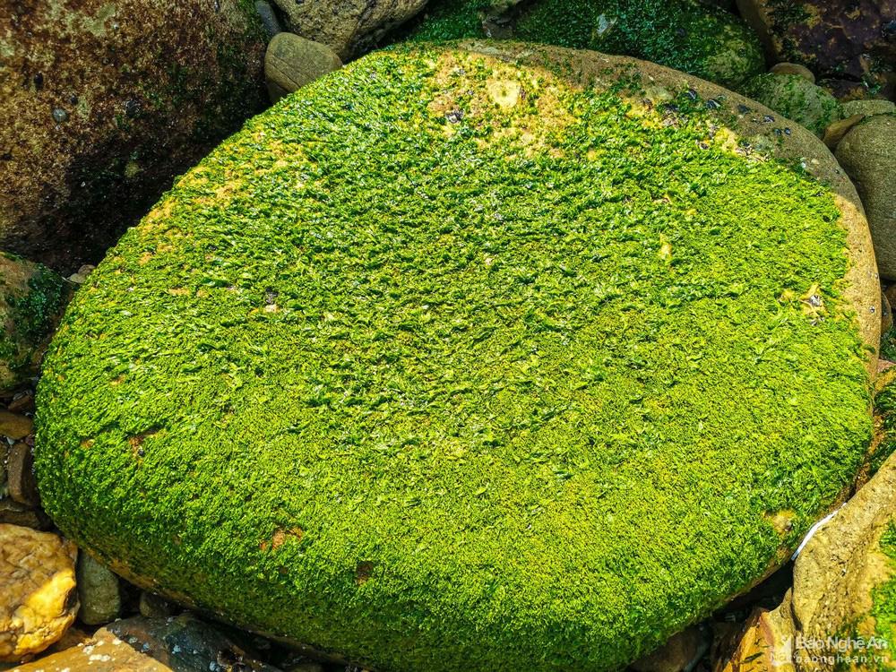 Loại cây mọc trên đá xanh le xanh lét trông rất bắt mắt ở biển Quỳnh, Nghệ An - Ảnh 3.