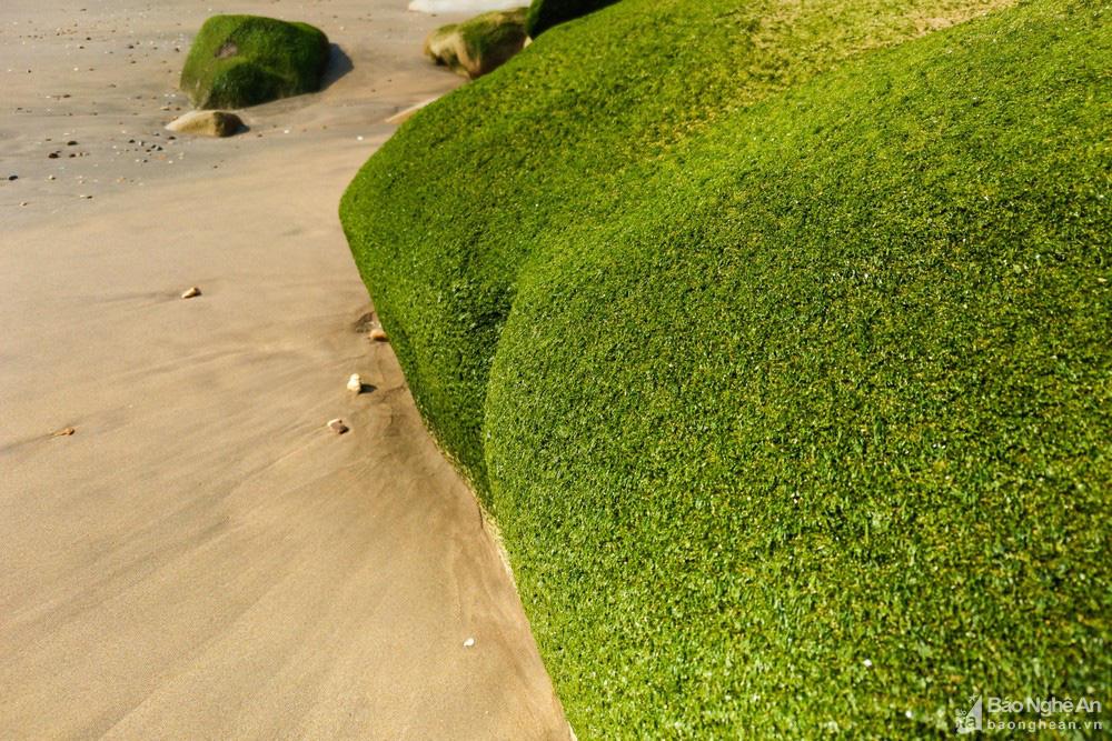 Loại cây mọc trên đá xanh le xanh lét trông rất bắt mắt ở biển Quỳnh, Nghệ An - Ảnh 4.