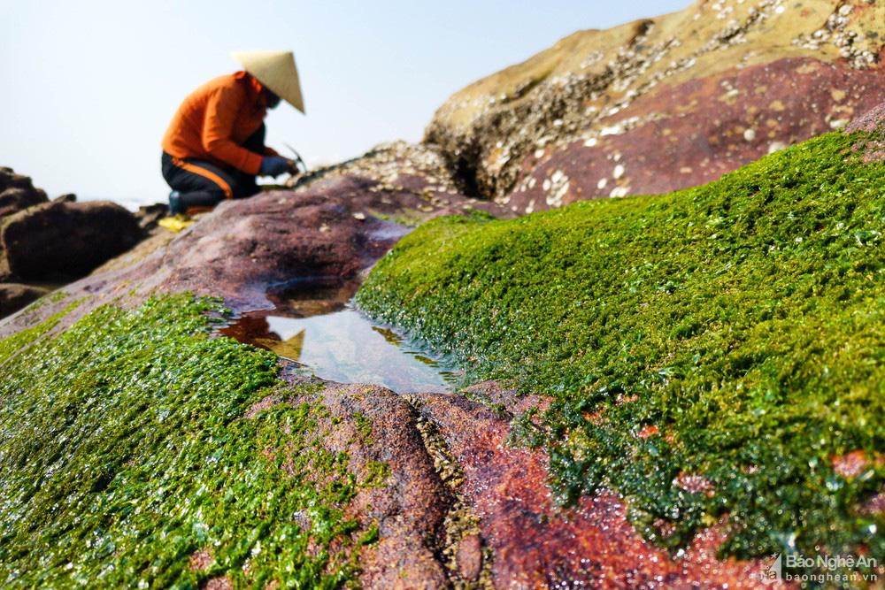 Loại cây mọc trên đá xanh le xanh lét trông rất bắt mắt ở biển Quỳnh, Nghệ An - Ảnh 5.