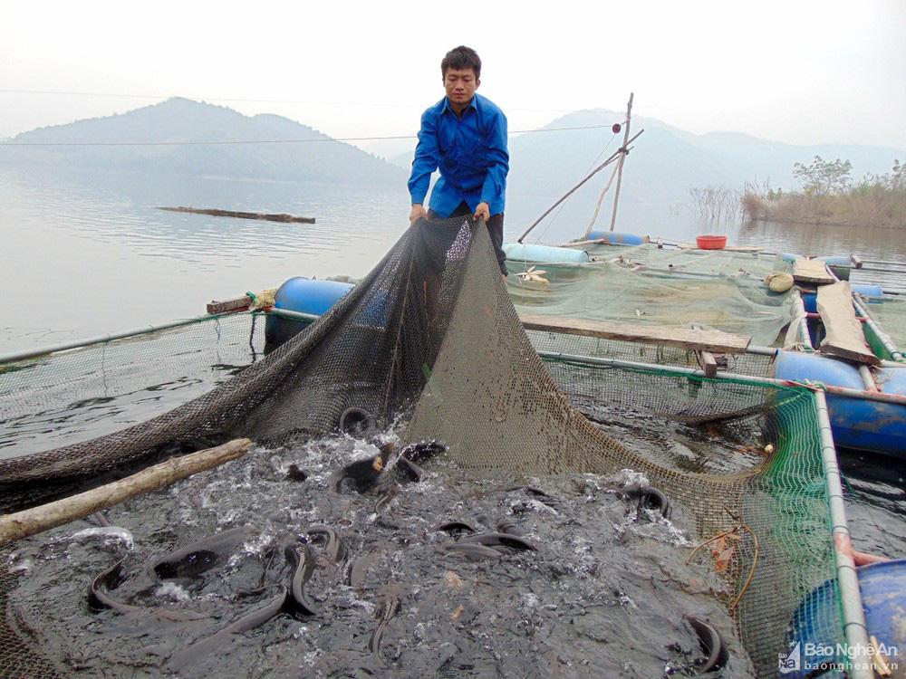 """Nghệ An: Nuôi cá lồng ở lòng hồ thủy điện, toàn loại đặc sản con to bự, nông dân """"bỏ túi"""" hàng trăm triệu đồng - Ảnh 5."""