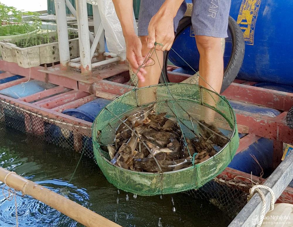 """Nghệ An: Nuôi cá lồng ở lòng hồ thủy điện, toàn loại đặc sản con to bự, nông dân """"bỏ túi"""" hàng trăm triệu đồng - Ảnh 3."""