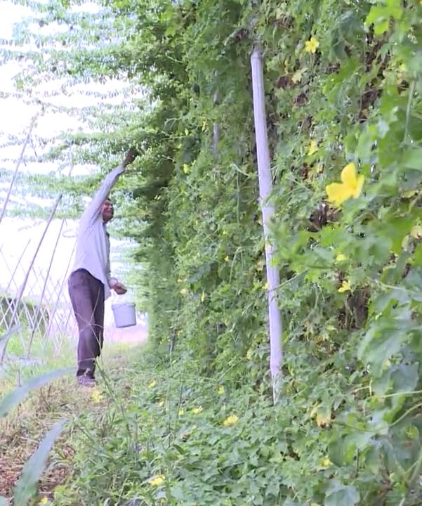 Đồng Nai: Bỏ ra 30 triệu trồng rau dại có trái sần sùi, đắng ngắt, ông nông dân thu 300 triệu đồng mỗi năm  - Ảnh 2.