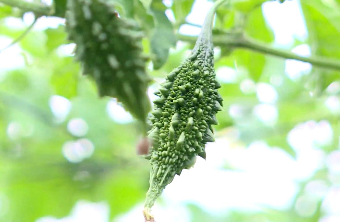 Đồng Nai: Bỏ ra 30 triệu trồng rau dại có trái sần sùi, đắng ngắt, ông nông dân thu 300 triệu đồng mỗi năm  - Ảnh 4.
