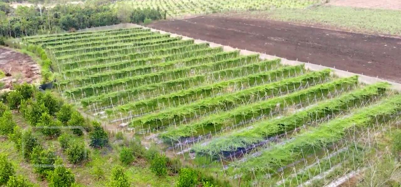 Đồng Nai: Bỏ ra 30 triệu trồng rau dại có trái sần sùi, đắng ngắt, ông nông dân thu 300 triệu đồng mỗi năm  - Ảnh 1.