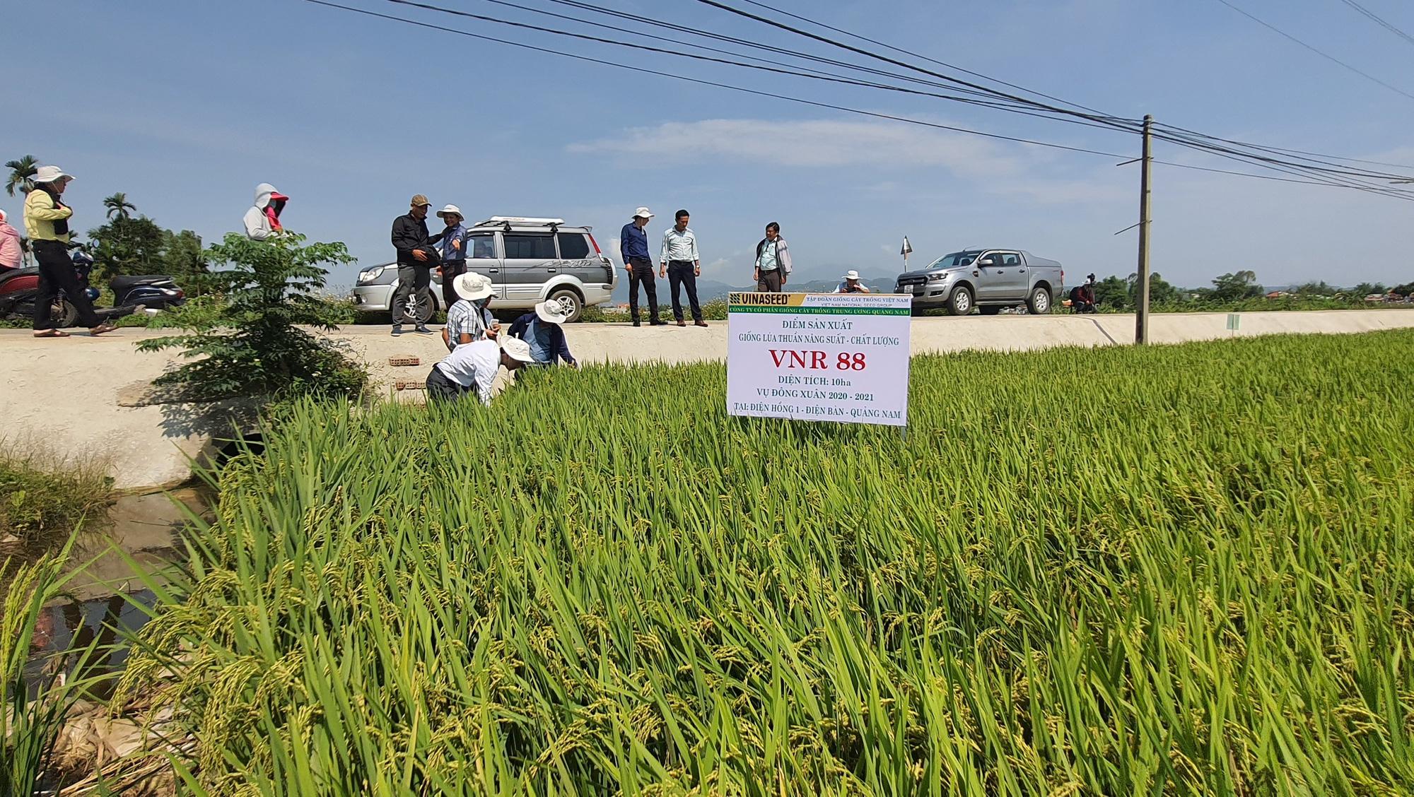 Quảng Nam: Nhiều giống lúa mới triển vọng cho năng suất cao đáp ứng được kỳ vọng của nông dân - Ảnh 4.