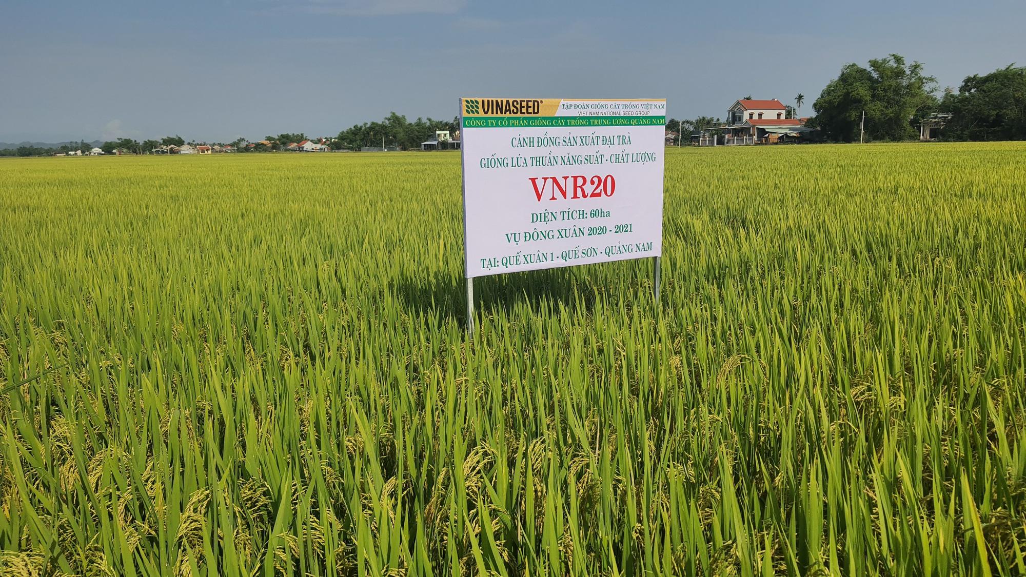 Quảng Nam: Nhiều giống lúa mới triển vọng cho năng suất cao đáp ứng được kỳ vọng của nông dân - Ảnh 6.