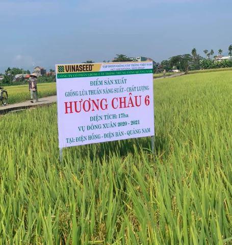 Quảng Nam: Nhiều giống lúa mới triển vọng cho năng suất cao đáp ứng được kỳ vọng của nông dân - Ảnh 7.