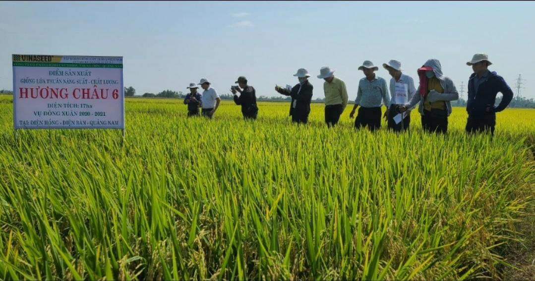 Quảng Nam: Nhiều giống lúa mới triển vọng cho năng suất cao đáp ứng được kỳ vọng của nông dân - Ảnh 5.