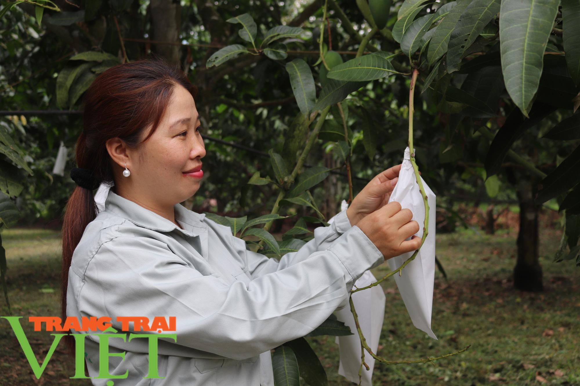 """Lợi ích từ việc """"mặc áo"""" cho trái cây ở Sơn La - Ảnh 3."""