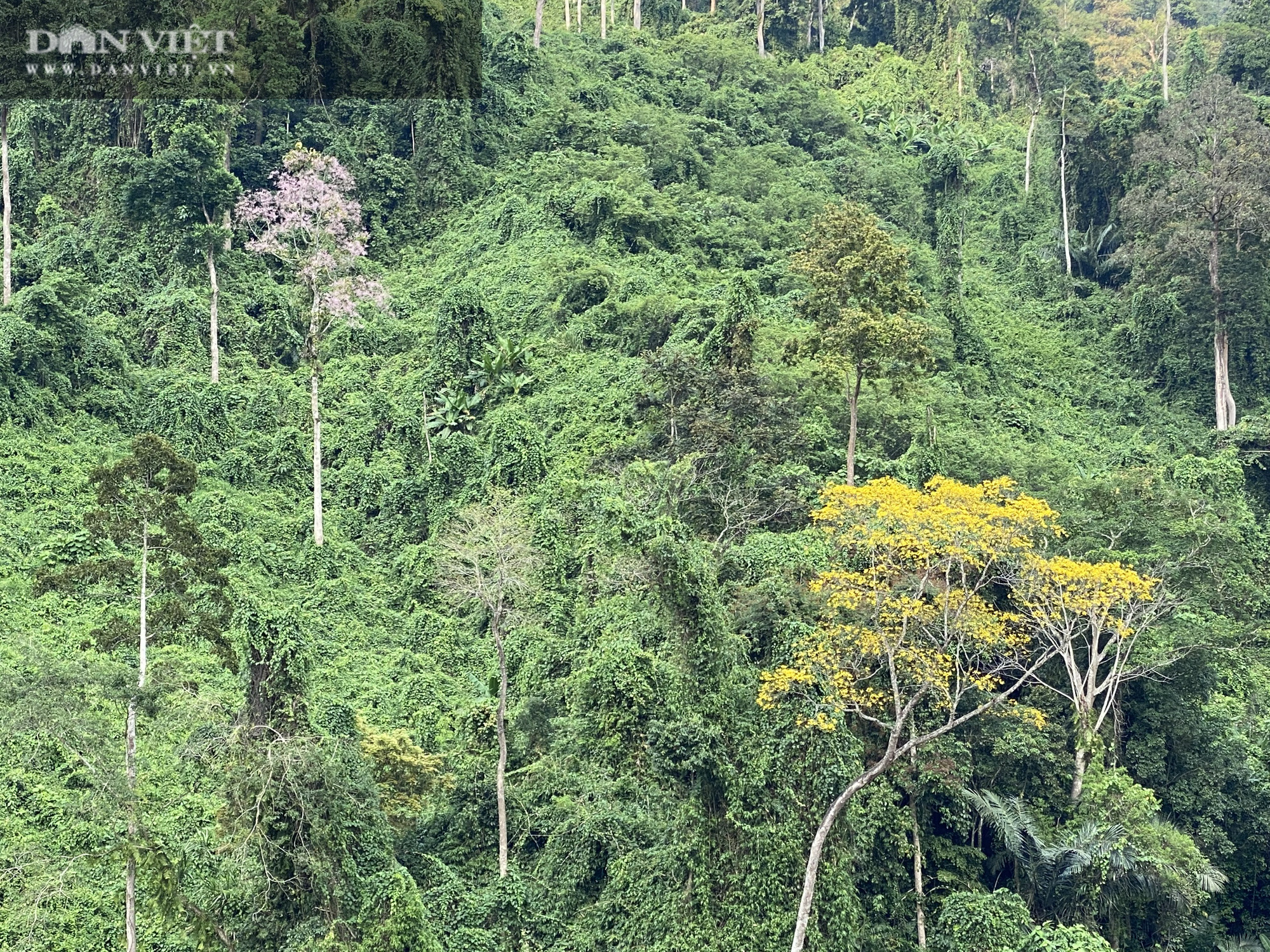 """Video: Rao bán cây cổ thụ là """"tài sản quốc gia"""" như cây trong vườn nhà mình - Ảnh 3."""