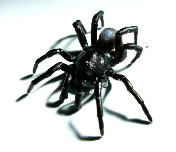 """Loài nhện tarantula mới được tìm thấy có thể sống hàng chục năm và săn mồi bằng cách sử dụng """"cửa sập"""" - Ảnh 1."""