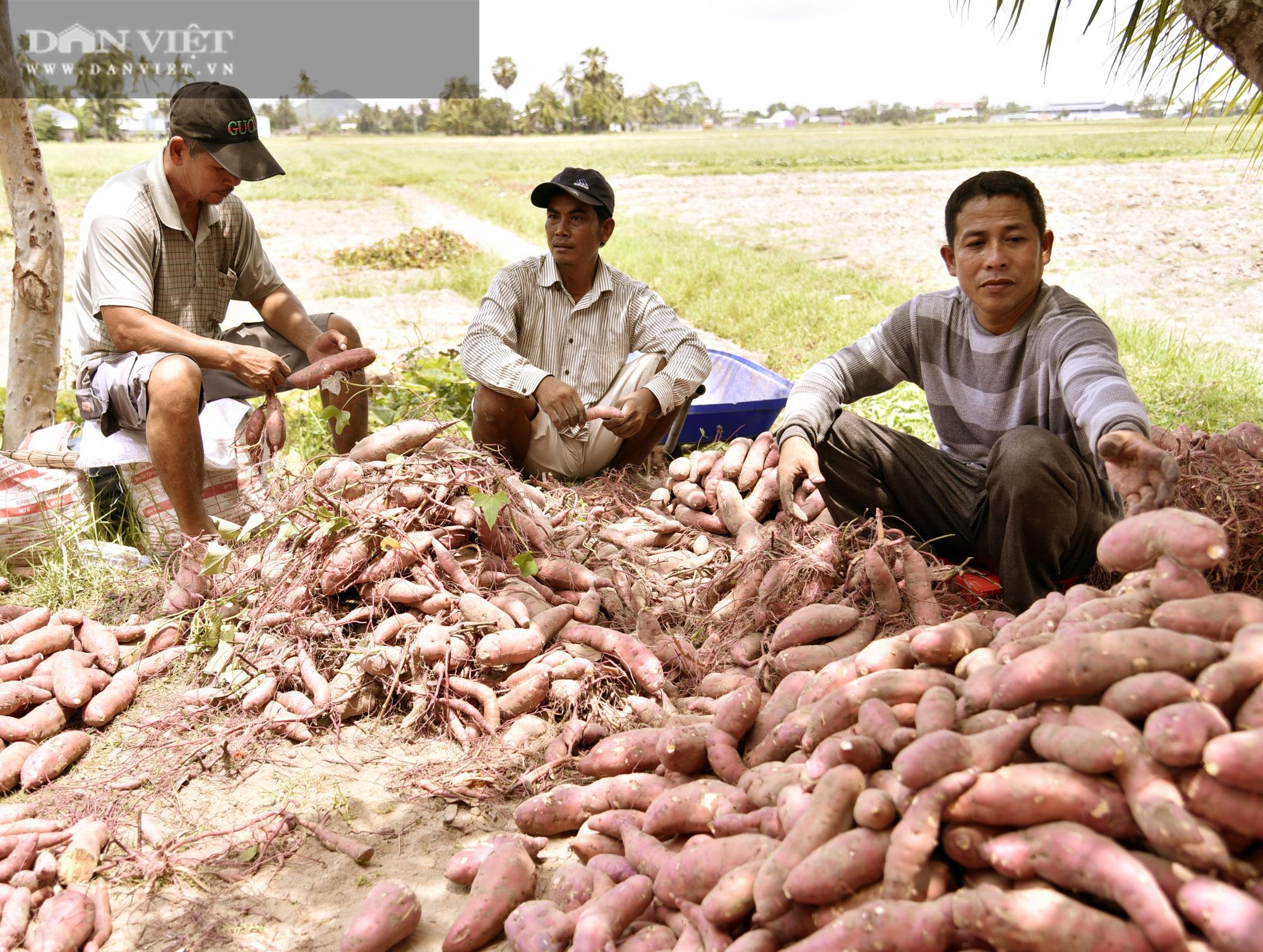 Về xứ thơ cùng xem nông dân trồng đặc sản khoai lang Mỹ Đức theo kiểu trời cho - Ảnh 2.