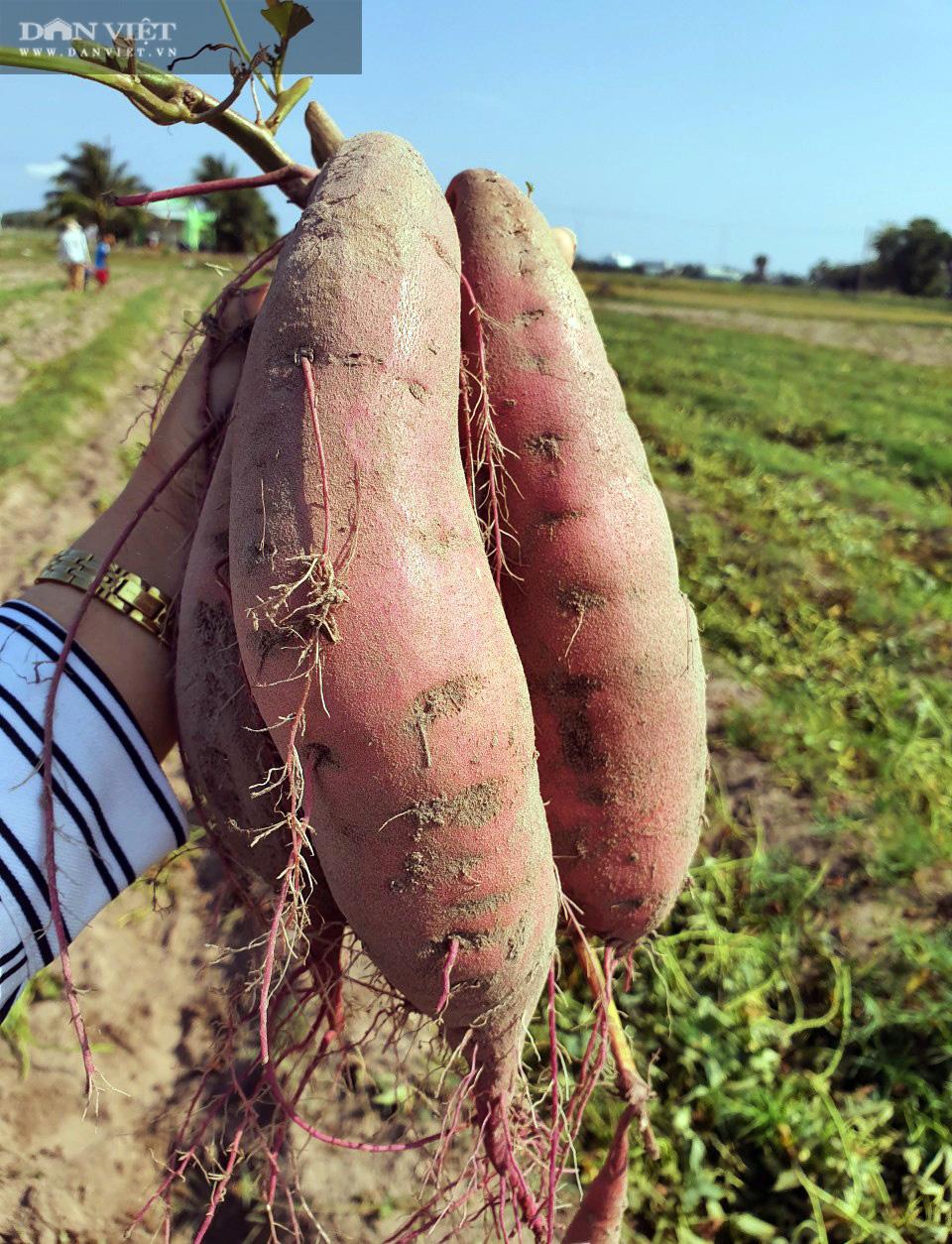 Về xứ thơ cùng xem nông dân trồng đặc sản khoai lang Mỹ Đức theo kiểu trời cho - Ảnh 8.