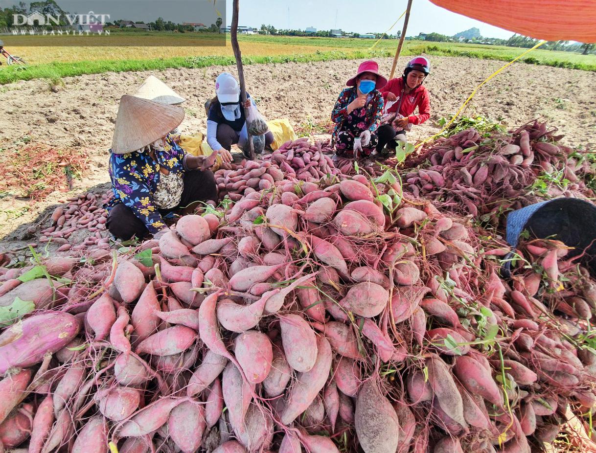 Về xứ thơ cùng xem nông dân trồng đặc sản khoai lang Mỹ Đức theo kiểu trời cho - Ảnh 15.