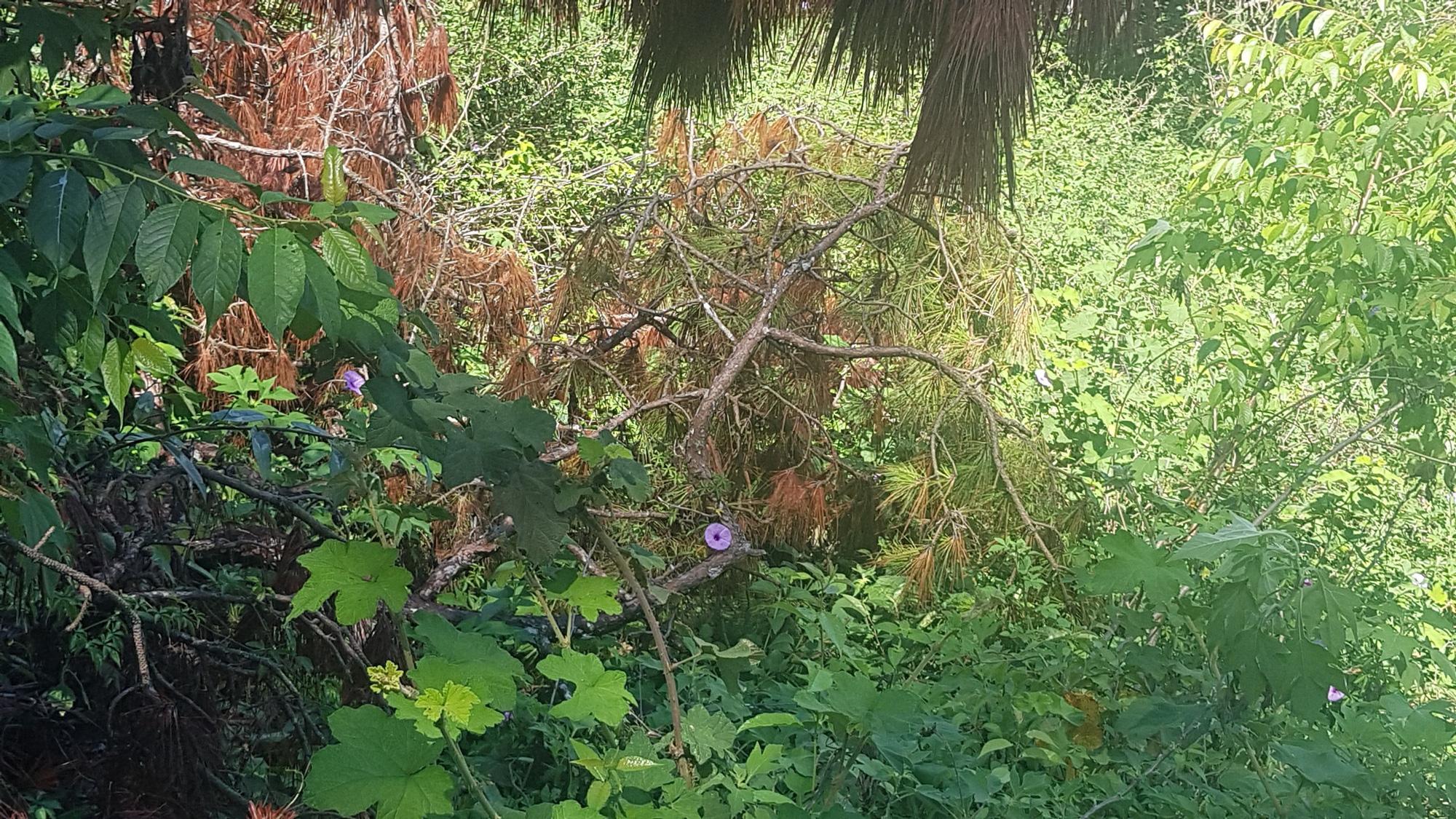 """Video: Nhiều cây thông cổ thụ giữa trung tâm Đà Lạt bị """"sát hại"""" - Ảnh 4."""