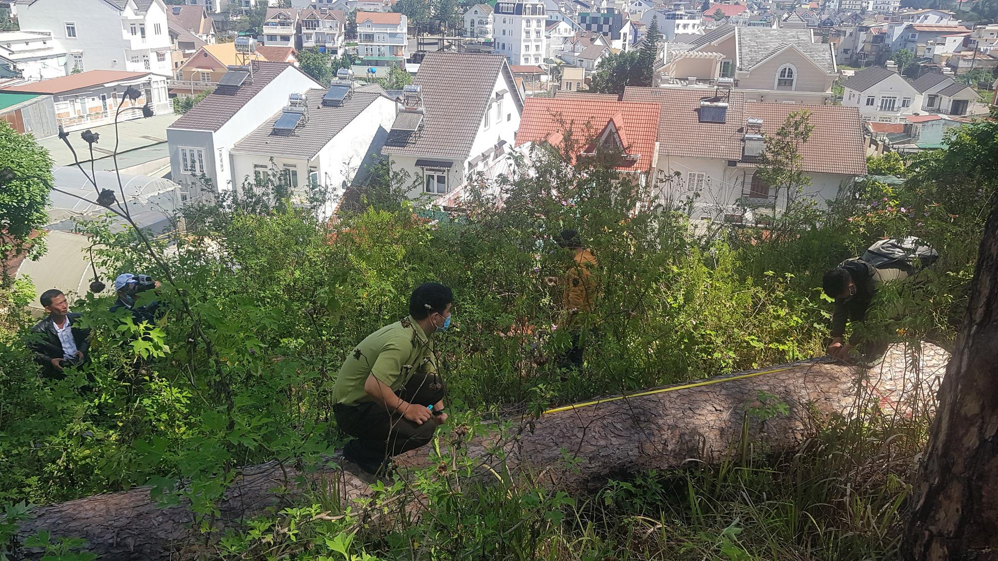"""Video: Hàng chục cây thông cổ thụ giữa trung tâm Đà Lạt bị """"sát hại"""" - Ảnh 2."""