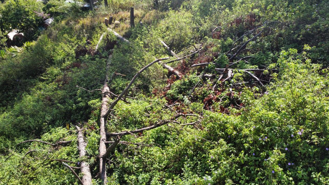 """Video: Hàng chục cây thông cổ thụ giữa trung tâm Đà Lạt bị """"sát hại"""" - Ảnh 6."""