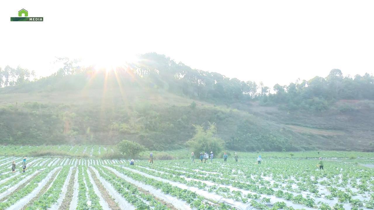 Sơn La: Nông dân trồng dâu tây trên núi, xuất bán đều 2 tấn mỗi ngày - Ảnh 3.