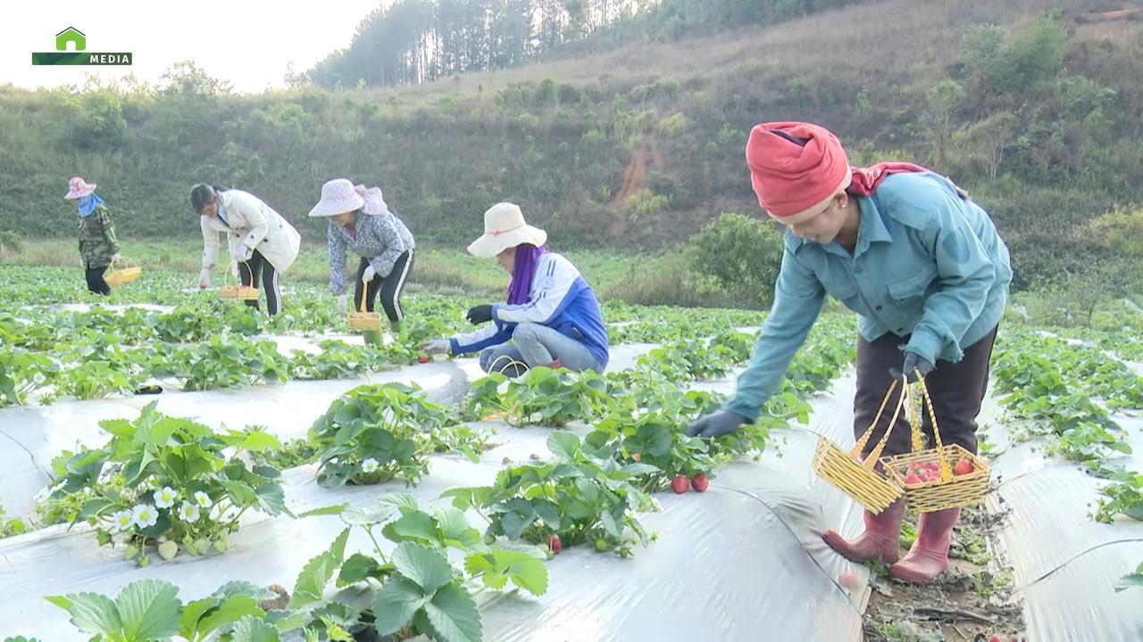 Sơn La: Nông dân trồng dâu tây trên núi, xuất bán đều 2 tấn mỗi ngày - Ảnh 4.