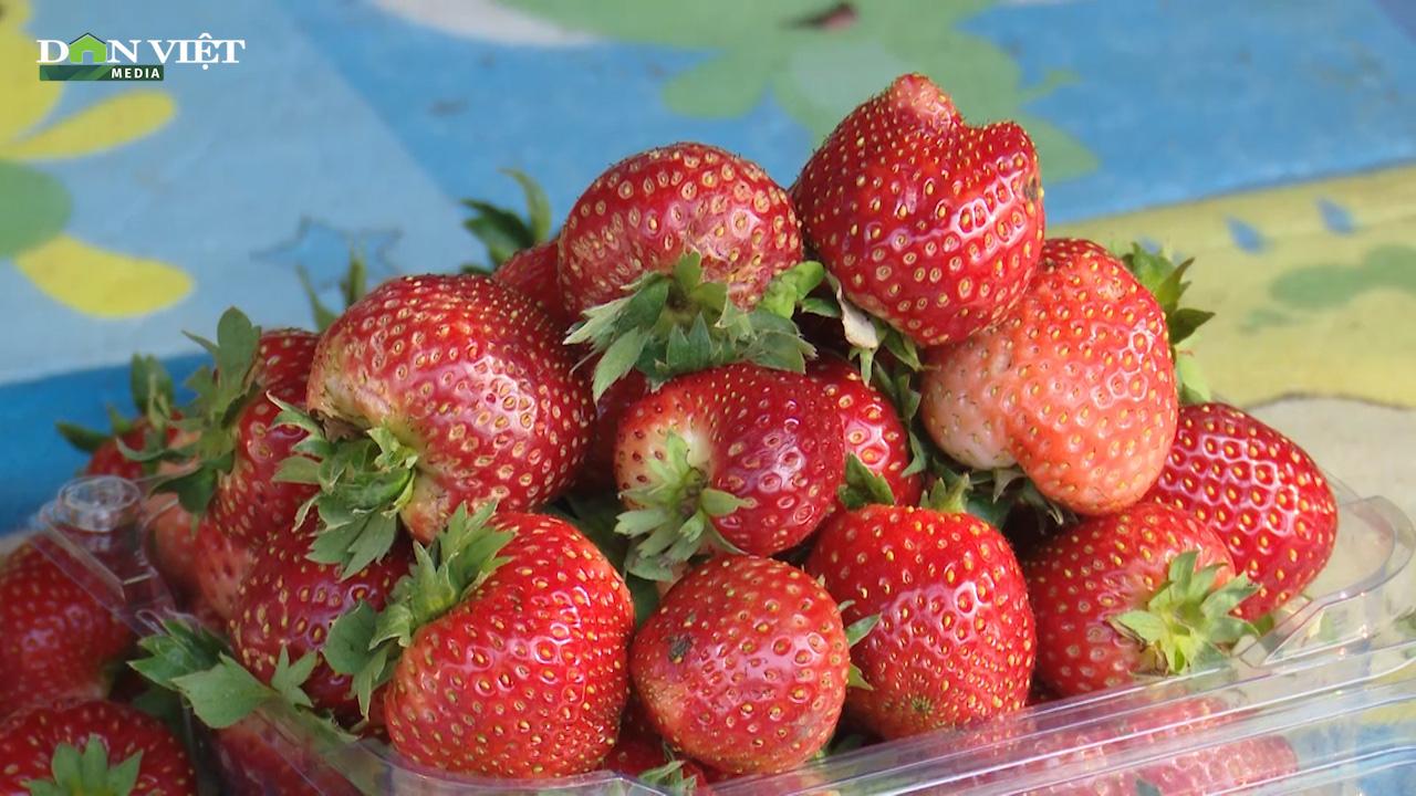 Sơn La: Nông dân trồng dâu tây trên núi, xuất bán đều 2 tấn mỗi ngày - Ảnh 2.