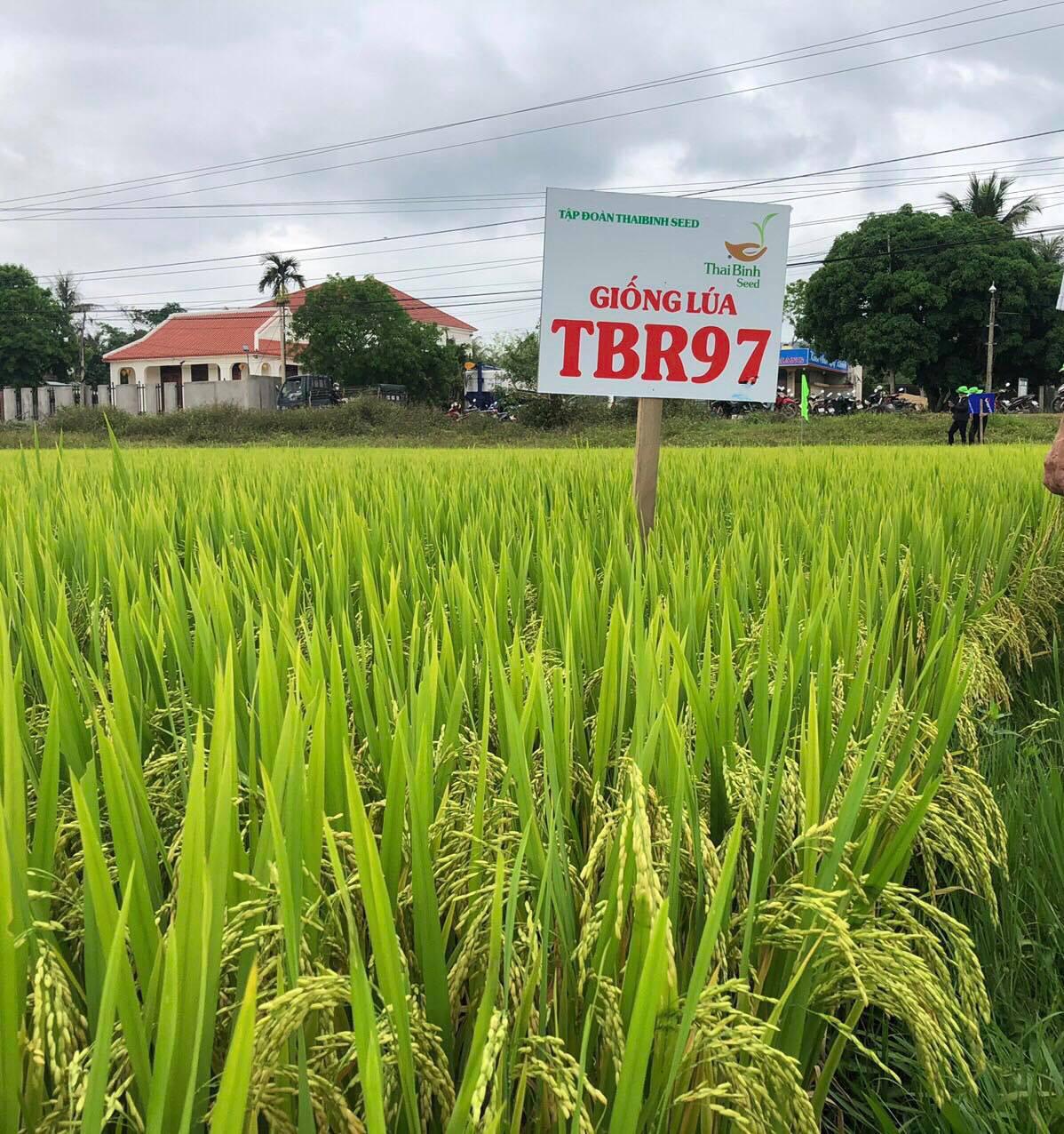 Quảng Nam: Nông dân thích thú giống lúa TBR97 với những ưu điểm vượt trội - Ảnh 2.