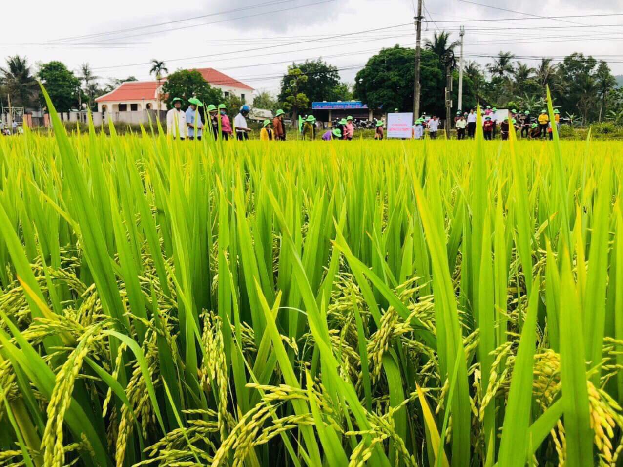 Quảng Nam: Nông dân thích thú giống lúa TBR97 với những ưu điểm vượt trội - Ảnh 1.