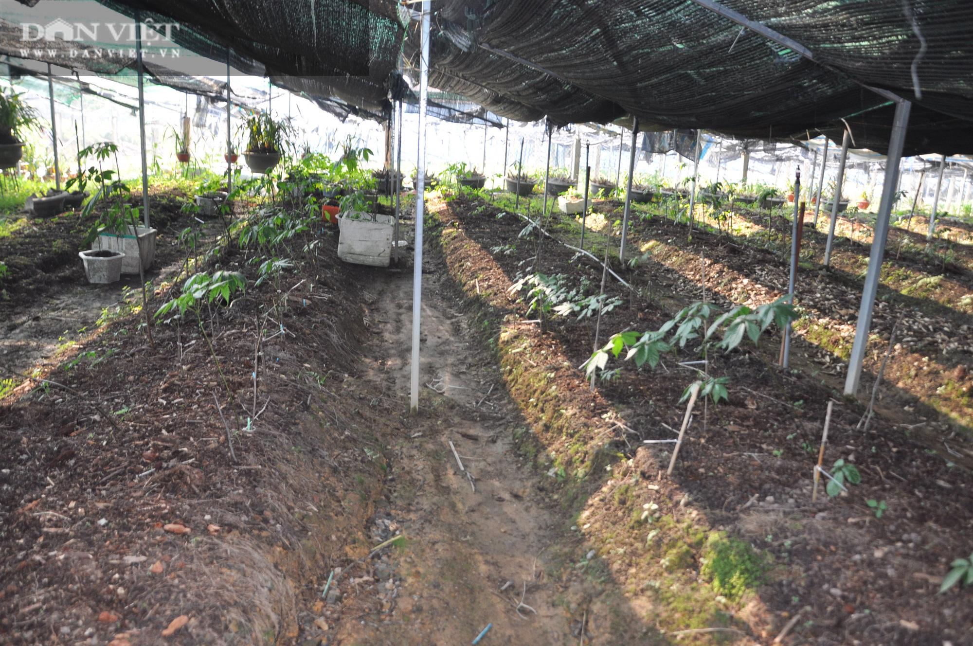 Bất ngờ: Nông dân huyện biên giới lần đầu thuần phục thành công loài sâm rừng, có loại trị giá 200 triệu đồng/kg - Ảnh 5.