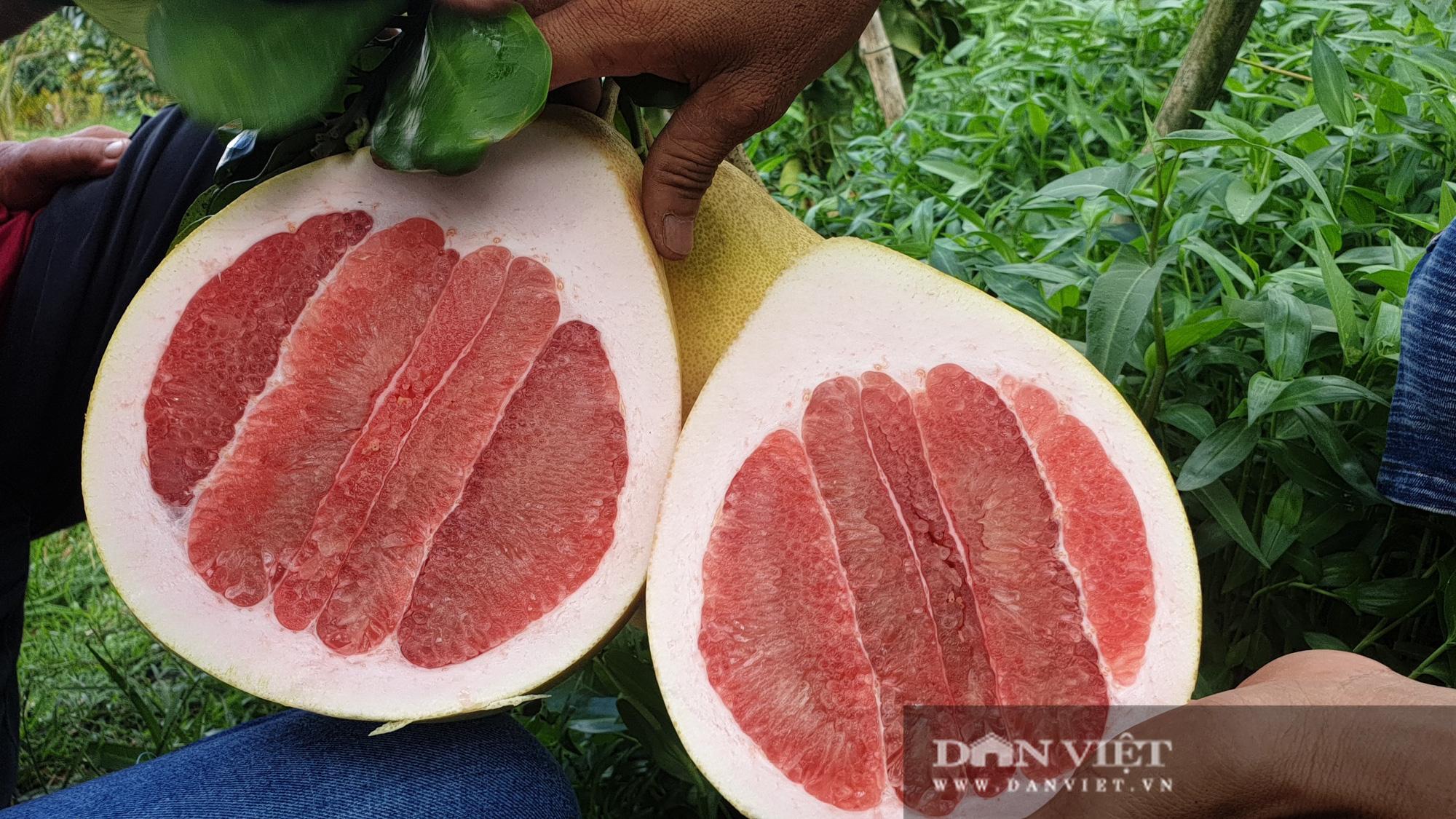 Rất lạ: Trái bưởi màu hồng rất to, treo từng chùm trong vườn nhìn đã mắt ở miền Tây - Ảnh 4.