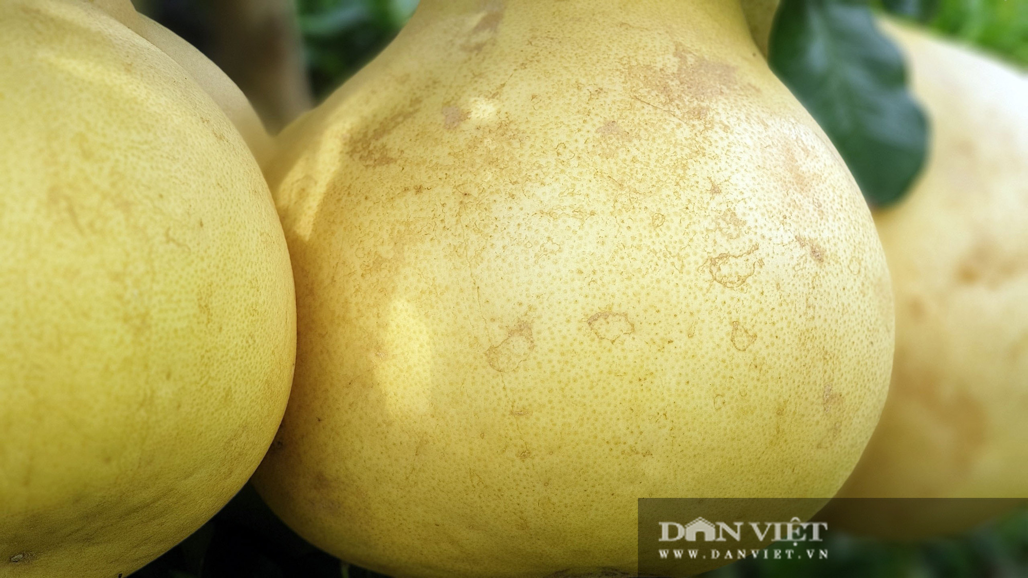 Rất lạ: Trái bưởi màu hồng rất to, treo từng chùm trong vườn nhìn đã mắt ở miền Tây - Ảnh 2.