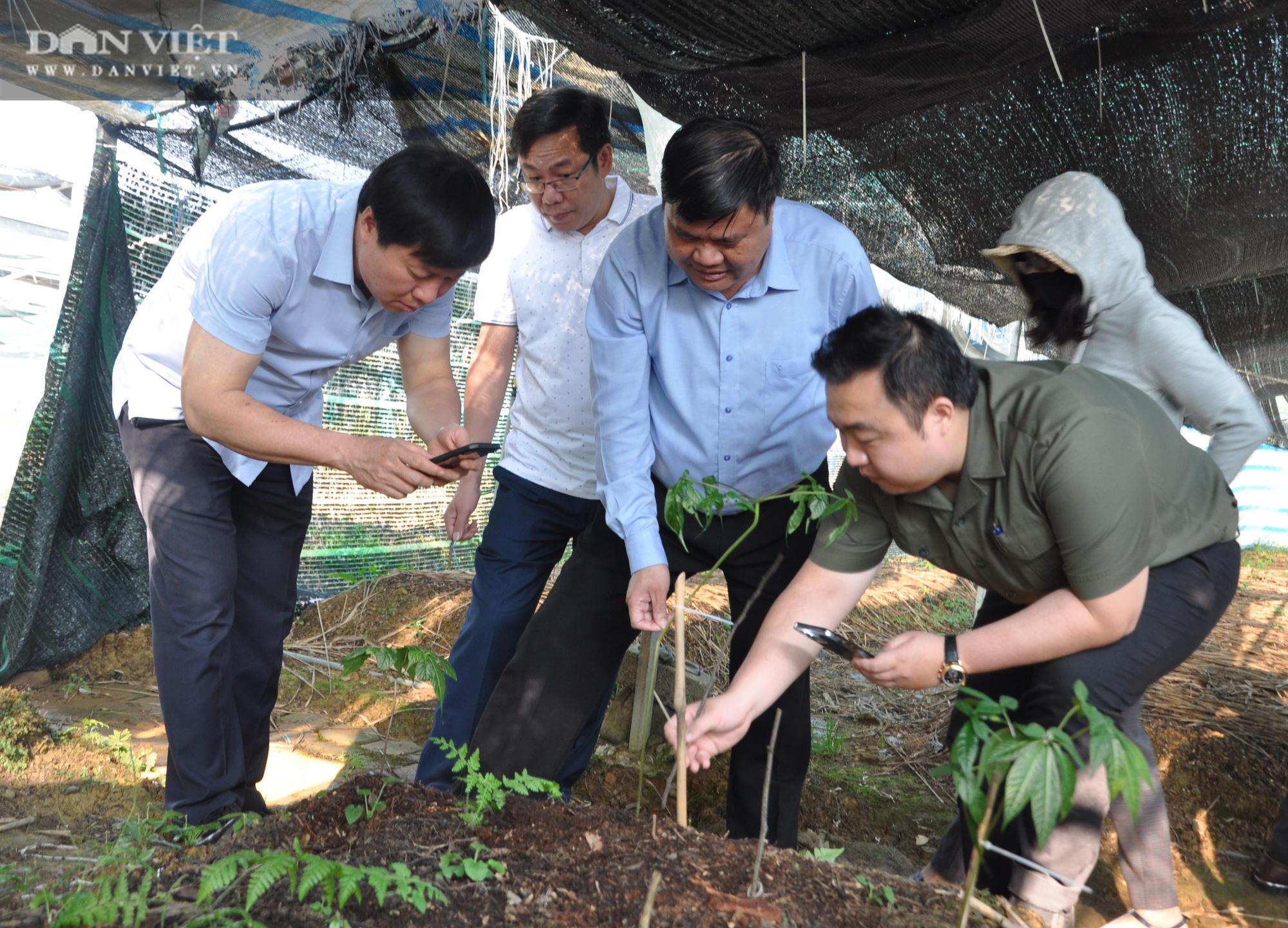 Bất ngờ: Nông dân huyện biên giới lần đầu thuần phục thành công loài sâm rừng, có loại trị giá 200 triệu đồng/kg - Ảnh 3.