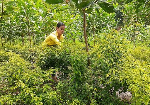 Quảng Nam: Nông dân ở đây nuôi con bản địa, trồng cây đặc sản mà thoát nghèo nhanh - Ảnh 1.
