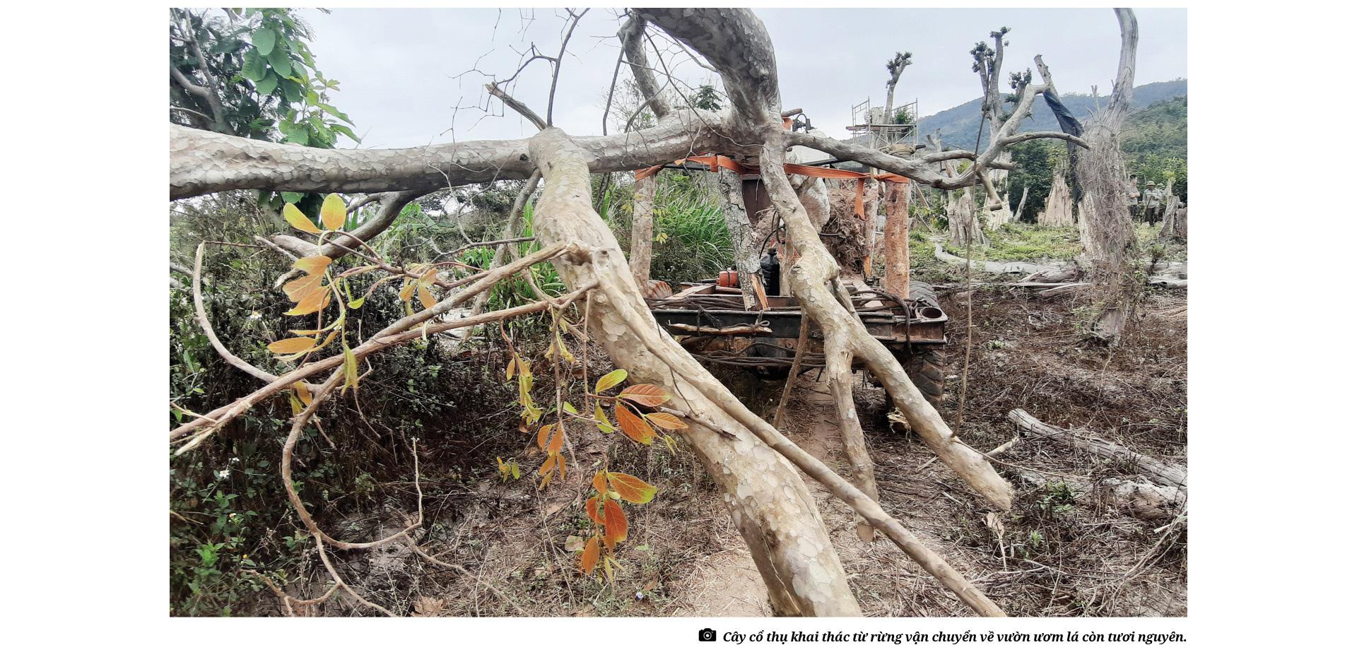 Bài 4: Rừng đang bị tàn sát khốc liệt bởi thú chơi cây cổ thụ như thế nào? - Ảnh 1.